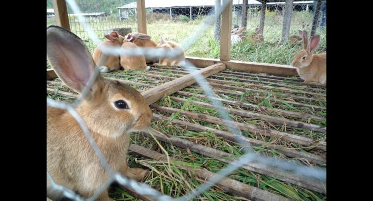 Critical Factors & Guidelines That Contributes To Huge Success In Rabbit Farming