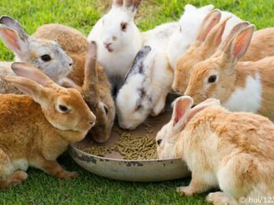 Breeding Rabbits – Comprehensive Report On Raising Quality Rabbits (Mating – Pregnancy – Litters)