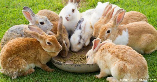 Breeding Rabbits – Comprehensive Report On Raising Quality Rabbits (Mating – Pregnancy – Litters)