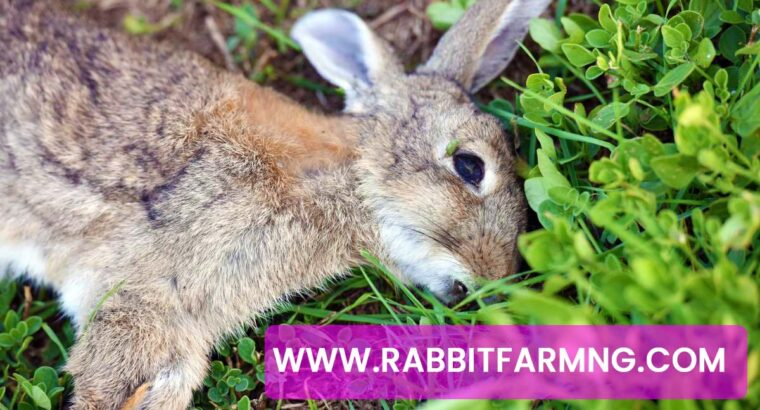 What You Need To Know About RHD (RABBIT HEMORRHAGIC DISEASE) – Dr. Theo's Analysis On RHD, Symptoms & Solution