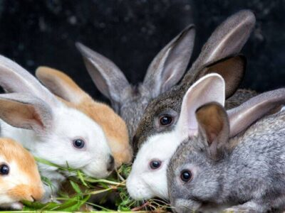 Tips To Proper Management Of Rabbit Kits And Weaners In Nigerian Farms