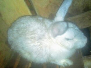 4 matured rabbits for sale!!