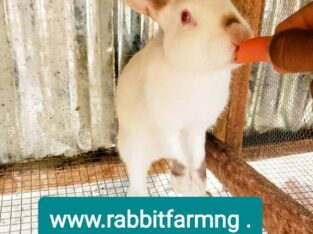 Hyla NG Rabbit For Sale, 4 Months Old
