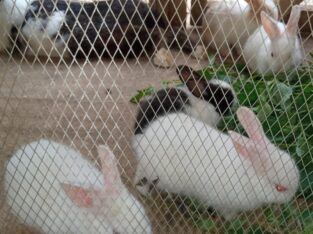 Dutch and New Zealand White Rabbits. 6 weeks. Akobo, Ibadan. Whatsapp Link  https://wa.link/3lxl71
