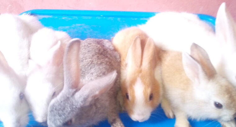 Healthy Rabbits forsales