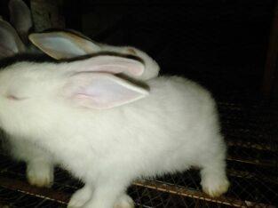 Hybrid exotic Rabbits