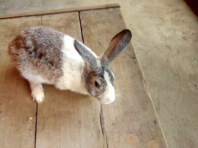 2 years old rabbit for sale