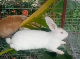 healthy rabbits over 1 year old