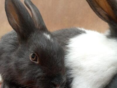 Weaner Bunnies for sale.