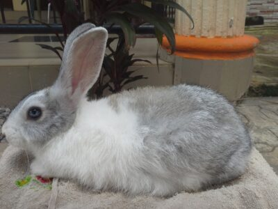 2 month old rabbit available for sale