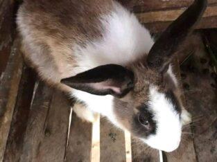 Dutch Rabbit for sale